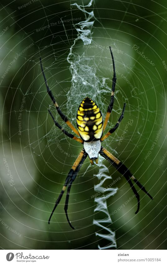 The Black and Yellow Argiope Animal Power Wild animal Sex Aggression Sexuality Spider