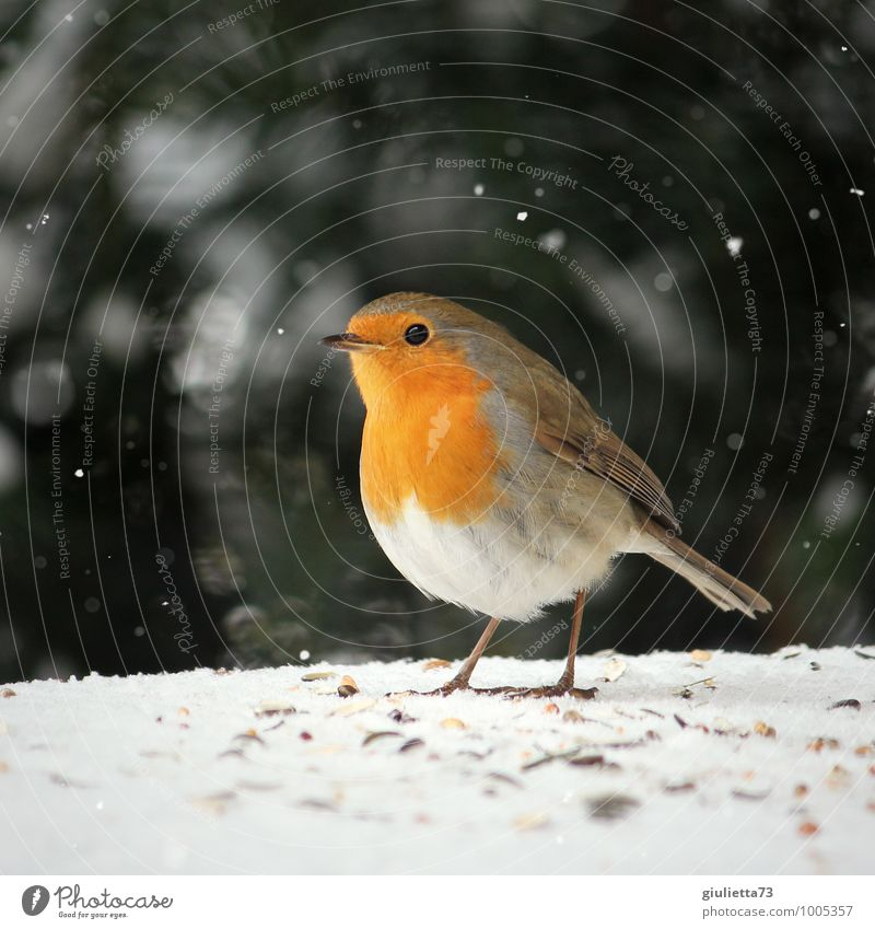 Beautiful Green White Red Animal Winter Love Snow Happy Garden Brown Bird Snowfall Wild animal Climate Esthetic