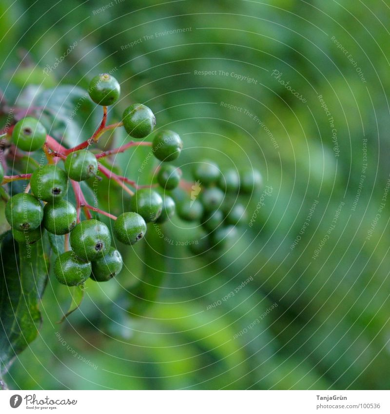 Berry time? Green Tone-on-tone Delicate Bushes Grass Wayside Red Immature Blur Elder Vitamin Fruit Berries leaf Stalk Nature To go for a walk