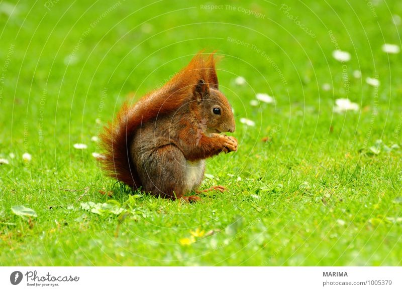 A squirrel on green grass. Nature Animal Grass Meadow Pelt Hair Wild animal Rust Brown Green Red Beige Squirrel Eurasian red squirrel Eating eat Europe fur For