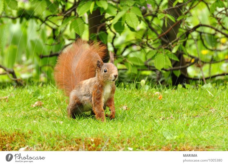 A squirrel on green grass. Nature Animal Grass Meadow Pelt Hair Wild animal Rust Brown Green Red Watchfulness intent Beige Squirrel Eurasian red squirrel Europe