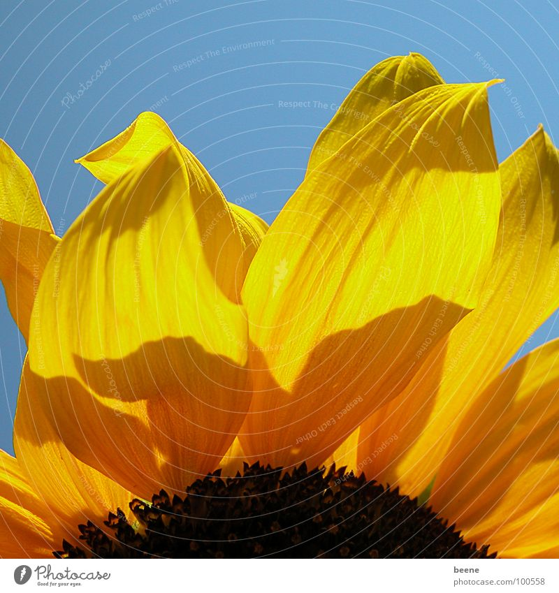 Nature Sky Sun Flower Blue Summer Yellow Blossom Warmth Physics Sunflower Beautiful weather Blossom leave