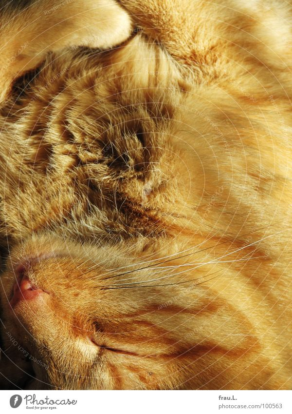 Red Sun Happy Dream Contentment Mouth Sleep Soft Pelt Trust Cozy Paw Mammal Smooth Cuddly Domestic cat
