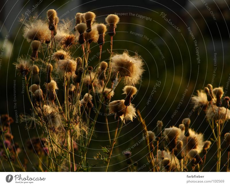 Golden Girls Summer Plant Thistle Old Blossoming Faded Thorny Black Environment Transience Easy Fine Colour photo Exterior shot Close-up Evening Twilight