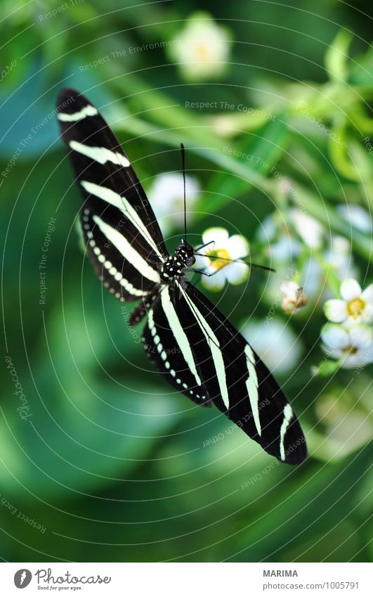 Zebra Longwing on a plant Beautiful Environment Nature Plant Animal Flower Blossom Sit Disgust Yellow Green Black White outside bloom disgusting Flying fly