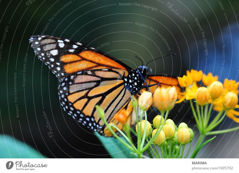 American monarch sitting on orange flower Beautiful Environment Nature Plant Animal Flower Blossom Sit Disgust Yellow Green Red Black Americas American Monarch