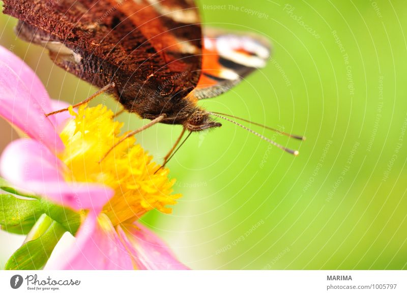 European Peacock sitting on pink dahlia Beautiful Garden Environment Nature Plant Animal Flower Blossom Sit Disgust Green Pink Red outside bloom colourful