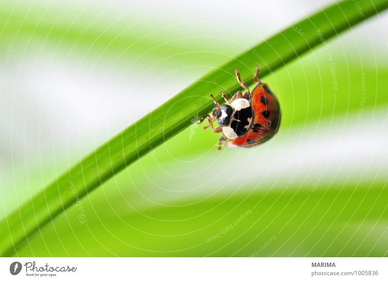 Nature Plant Green Red Leaf Animal Environment Sit Europe Point Planning Insect Stage lighting Crawl Spotted Beetle