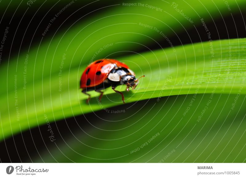 red ladybug on a plant Garden Environment Nature Plant Animal Leaf Beetle Crawl Sit Disgust Green Red outside sheet Cucujiformia Polyphaga disgusting Europe