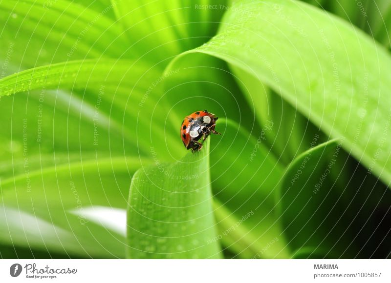red ladybug on a plant Environment Nature Plant Animal Leaf Beetle Crawl Sit Disgust Green Red outside sheet Cucujiformia Polyphaga disgusting Europe Spotted