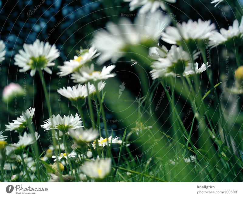 daisy forest Meadow Flower Grass Green Daisy White Summer Worm's-eye view Edge of the forest Stalk Plant Nature