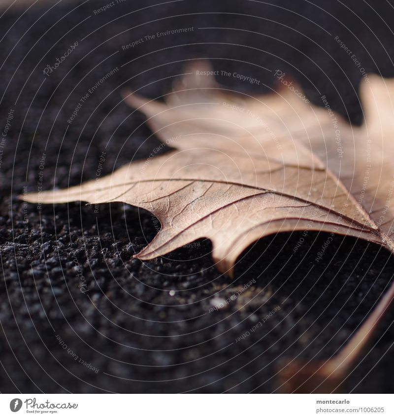 Ephemeral Environment Nature Plant Autumn Leaf Foliage plant Wild plant Stone Old Thin Authentic Simple Cold Near Natural Point Gloomy Dry Soft Brown Black