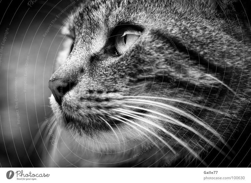 observation Cat Silhouette Whisker Mammal Domestic cat Looking Observe Profile Cat eyes Eyes Snapshot