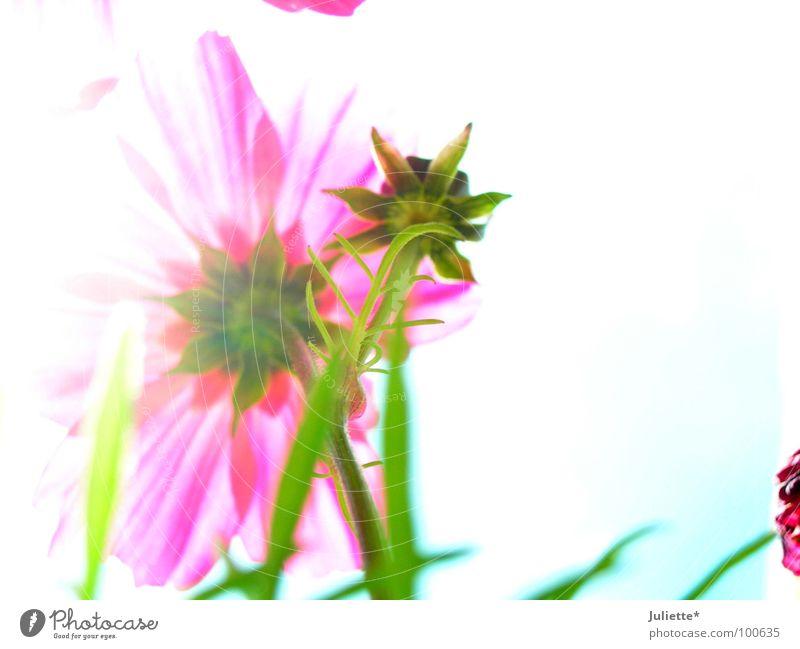 Beautiful White Flower Green Summer Pink Delicate Pallid Bud Neutral
