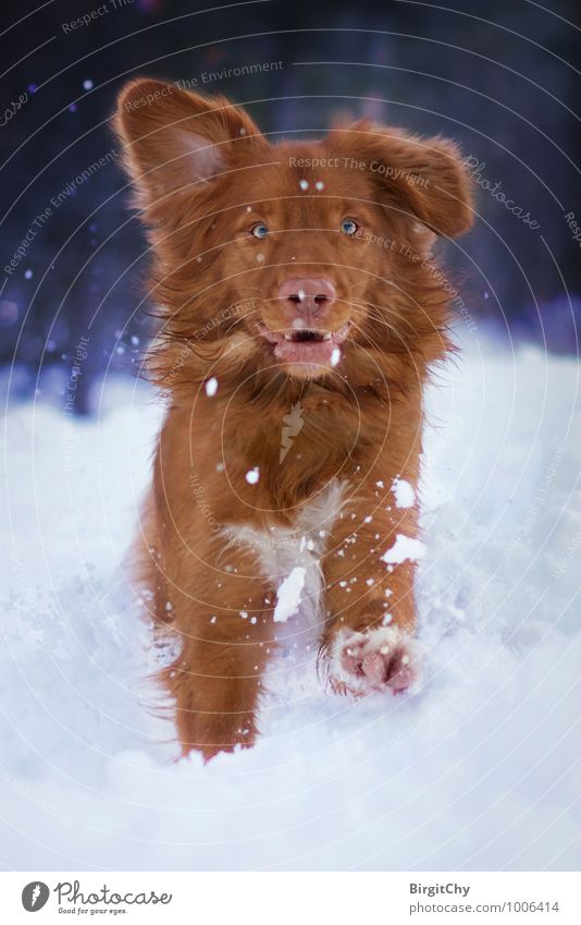 Bagizo Nature Winter Snow Animal Pet Dog 1 Walking Running Nova Scotia Duck Tolling Retriever Colour photo Subdued colour Exterior shot Looking