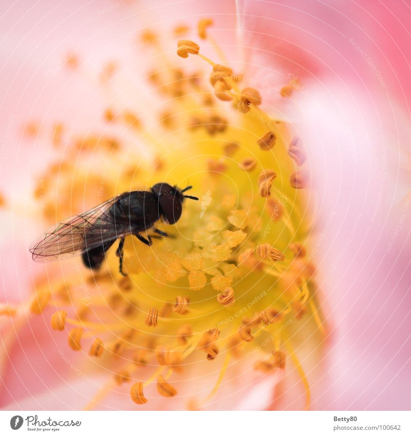 Nature Flower Summer Blossom Fly Search Wing Insect Blossoming Bee Appetite To enjoy Collection Stamen Costs Nectar