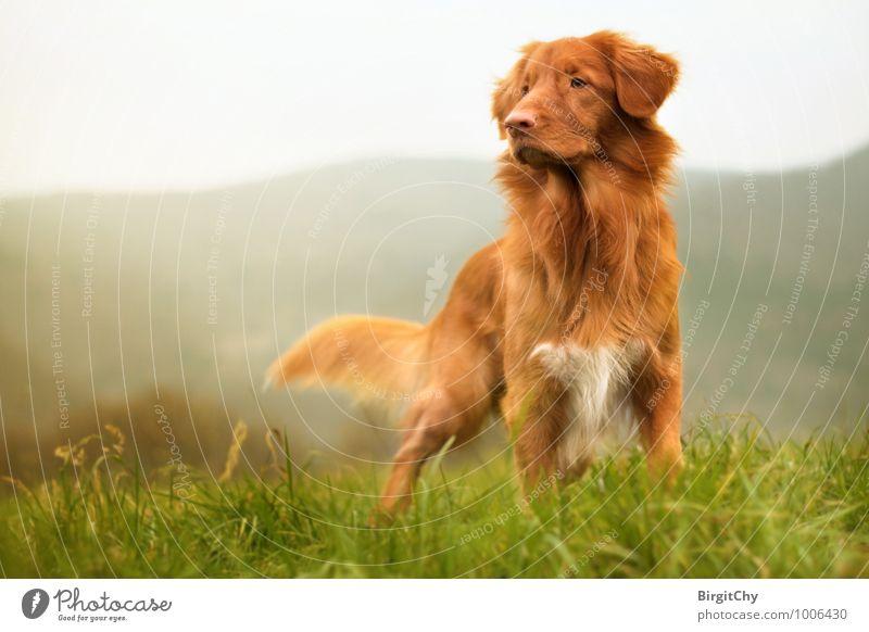 Bagizo Grass Meadow Hill Mountain Animal Pet Dog 1 Stand Nova Scotia Duck Tolling Retriever Colour photo Subdued colour Exterior shot Sunlight Animal portrait