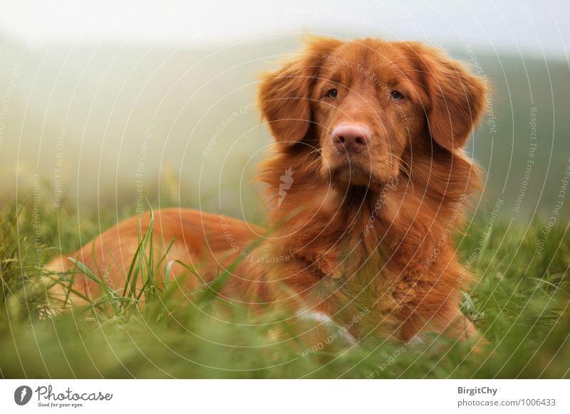Bagizo Meadow Animal Pet Dog 1 Lie Nova Scotia Duck Tolling Retriever Colour photo Subdued colour Exterior shot Animal portrait Front view Forward