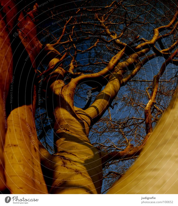 beech Tree Beech tree Branchage Muddled Treetop Forest Environment Growth Flourish Worm's-eye view Might Sublime Colour Sky Twig Shadow Nature Upward