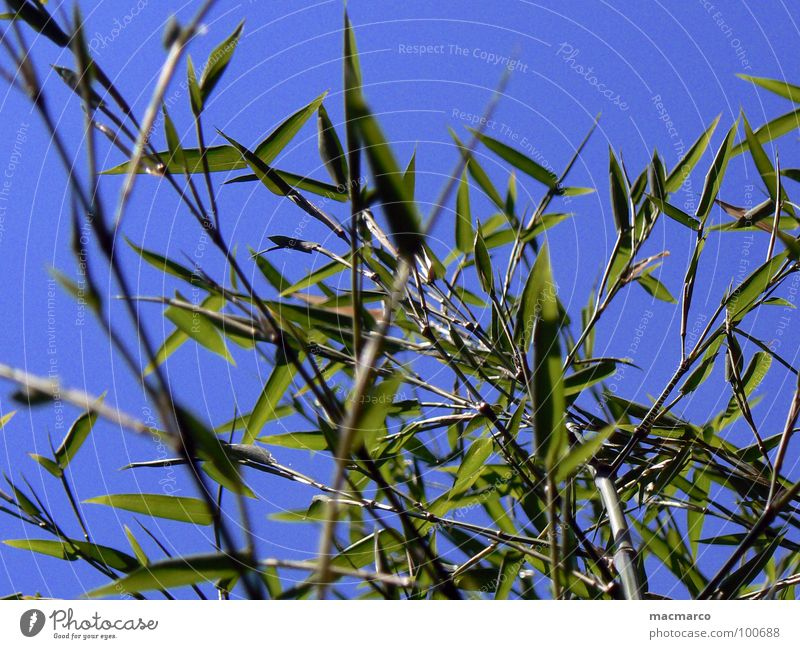 bamboo in the blue sky Japan China Asia Grass Blade of grass Sky Park Branched Green Growth Maturing time Common Reed Spring Environment Summery Juicy Plant