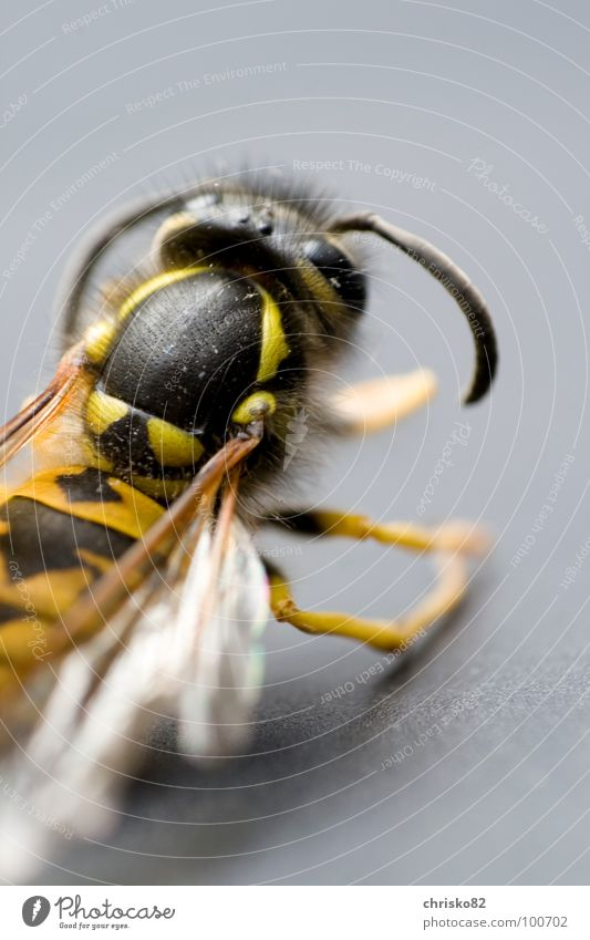 aggressive II Feeler Insect Wasps Hornet Bee Judder Rear view Dangerous Attack Aggressive Bothersome Honey Larva King Wasps' nest Pierce Black Yellow