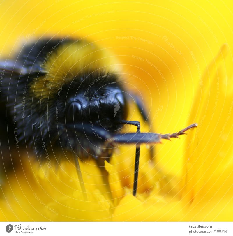 It was him! ... Bumble bee Guilty Lie (Untruth) Liar Work and employment Working man Yellow Black Stamen Collection Blossom Flower Plant Rat on someone Meaning