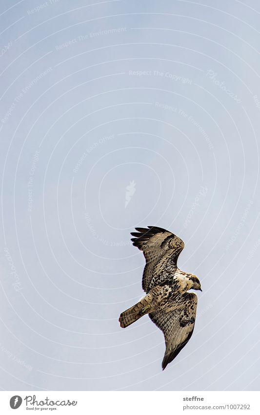 Beastly good: American Buzzard Nature Sky Cloudless sky Beautiful weather Animal Bird 1 Flying Hawk Bird of prey Feather Pattern Colour photo Exterior shot