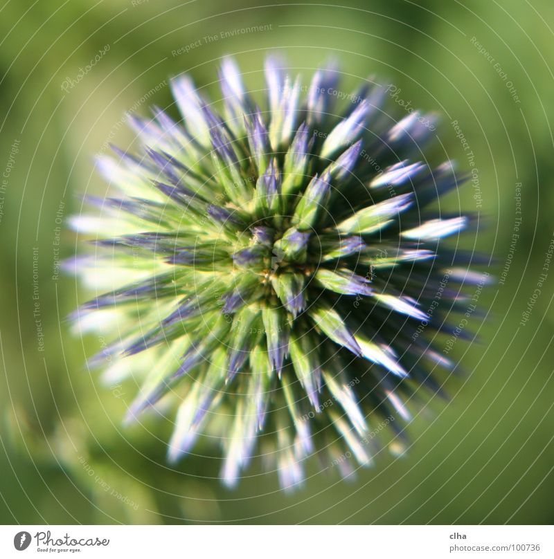 A hedgehog? Flower Blossom Green Thistle Plant Garden Macro (Extreme close-up) globe thistle