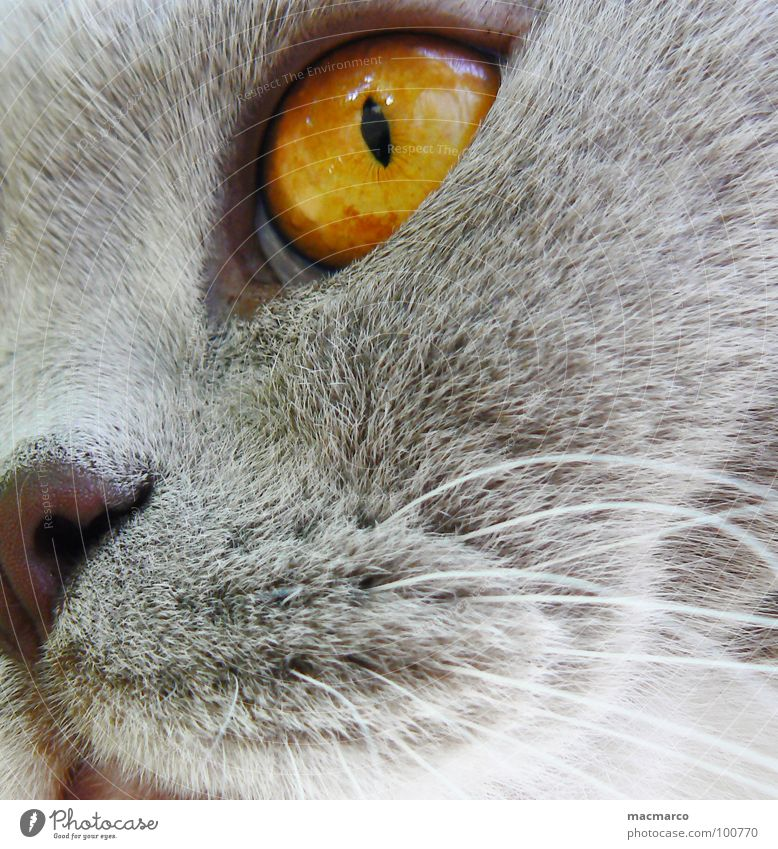 nabbi #2 Cat Animal Vista Pelt Amber Whisker Fix Mystic Enchanting Intensive Macro (Extreme close-up) Close-up Mammal Cat eyes Hair and hairstyles Eyes Looking