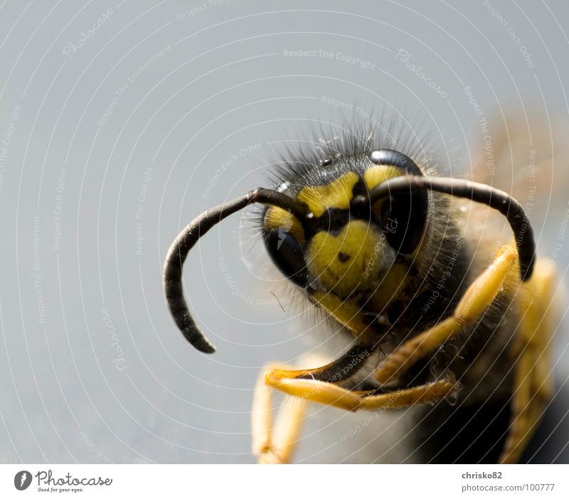 Black Eyes Yellow Death Legs Back Flying Dangerous Wing Threat Bee Insect Pain To feed Poison