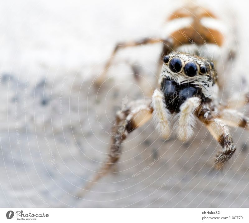 curious hairy bouncer Spider Stripe Jump Hop Small Speed Curiosity Zebra Crawl Playing Concrete Diminutive Sweet Pelt Looking Attack Defensive Calm Wait