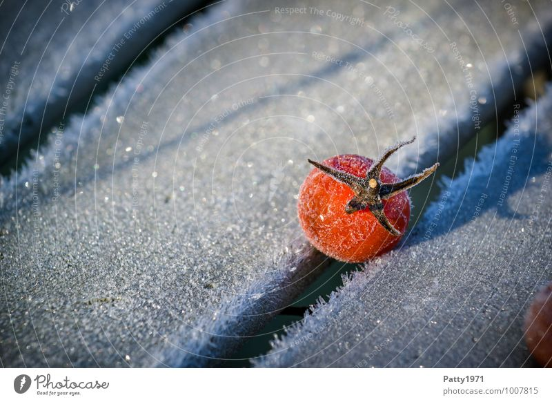 tomato Food Vegetable Tomato Winter Ice Frost Plant Agricultural crop Cold Red White Nature Transience Colour photo Exterior shot Close-up Deserted