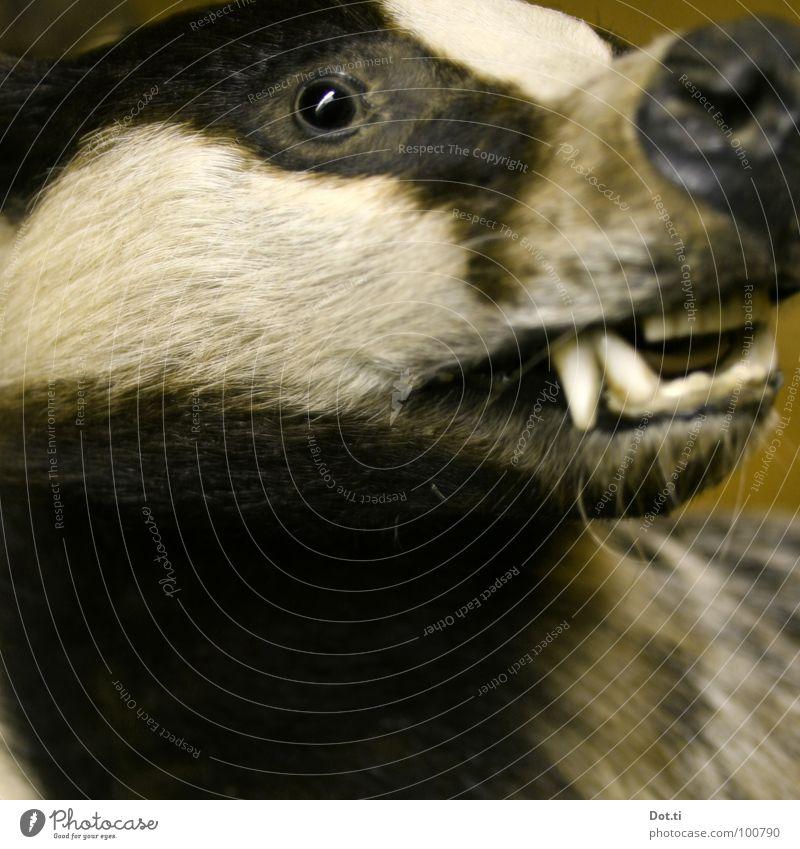 Reineke Polecat Animal Badger Land-based carnivore Beast Caress Trenchant Pelt Beard hair Fang Snarl Button eyes Ferocious Sweet Cute Fairy tale Zoology