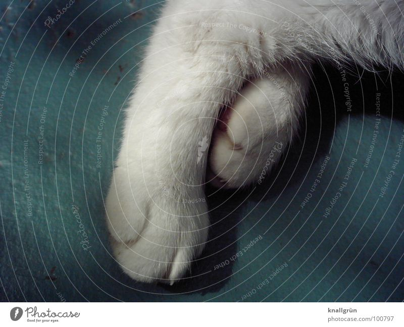 White Animal Relaxation Hair and hairstyles Feet Sleep Trust Pelt Mammal Paw Pet Claw Domestic cat Cat's paw Sleeping place