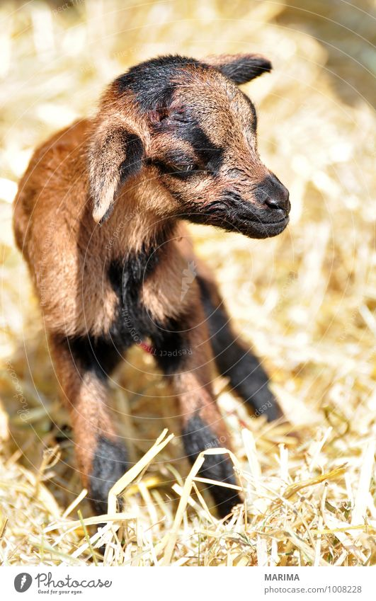 newborn goat in the hay Zoo Nature Animal Pelt Farm animal Petting zoo Herd Baby animal Stand Growth Brown Black outside Beige organic Blood Europe fur For