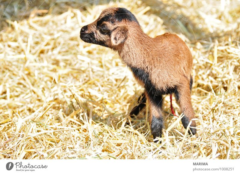 Nature Animal Black Baby animal Brown Growth Stand Europe Pelt Zoo Mammal Kid (Goat) Blood Beige Muzzle Farm animal