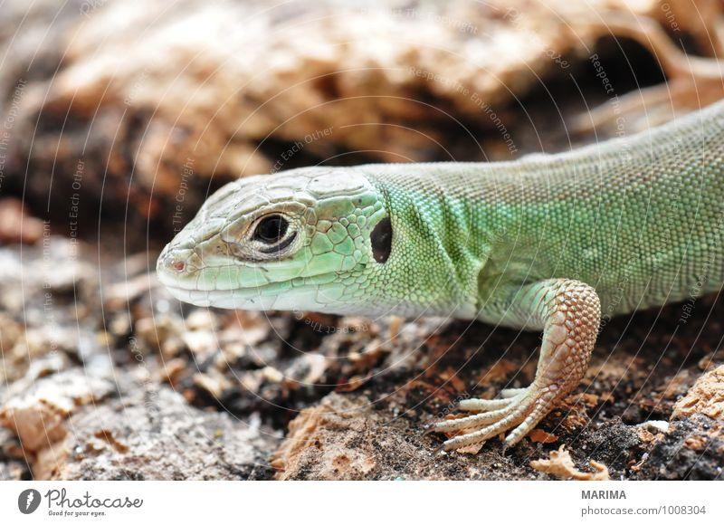 little young European green lizard Nature Animal Paw Baby animal Wood Brown Green Eyes eye Beige Saurians saurian Lacertilia Lizards Feet foot timber fart Head