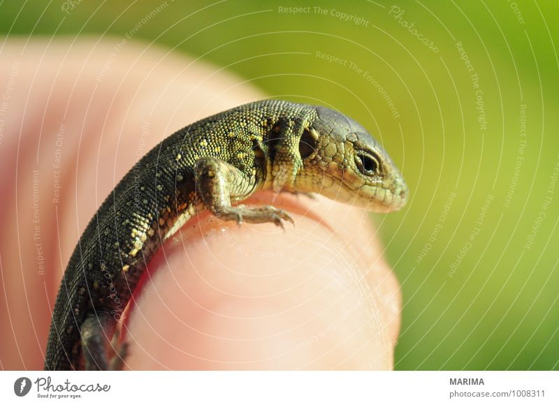 Nature Green Hand Animal Baby animal Brown Europe Paw Beige Reptiles Offspring Saurians Lizards Zoology Lizard Animal care
