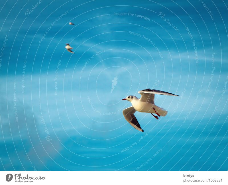 air show Sky Seagull Gull birds 3 Animal Flying Esthetic Elegant Positive Beautiful Blue White Movement Ease Nature Bird Wing Colour photo Multicoloured