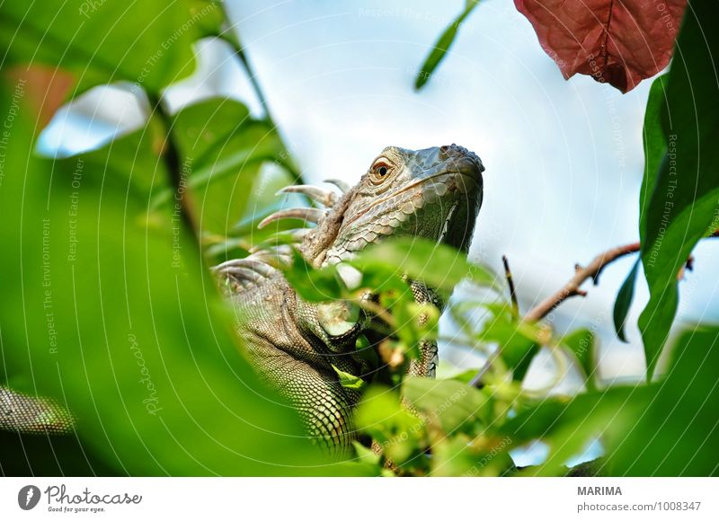 Portrait of a green iguana Relaxation Nature Plant Animal Leaf Paw Brown Green Branch Twig branches rest take a rest Beige sheet folio Saurians saurian