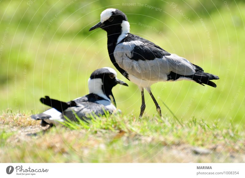 Portrait of a Blacksmith lapwing Nature Animal Grass Meadow Bird Stand Gray Green 2 two outside Grand piano Feet foot Feather plumage pewit vanellus portrait