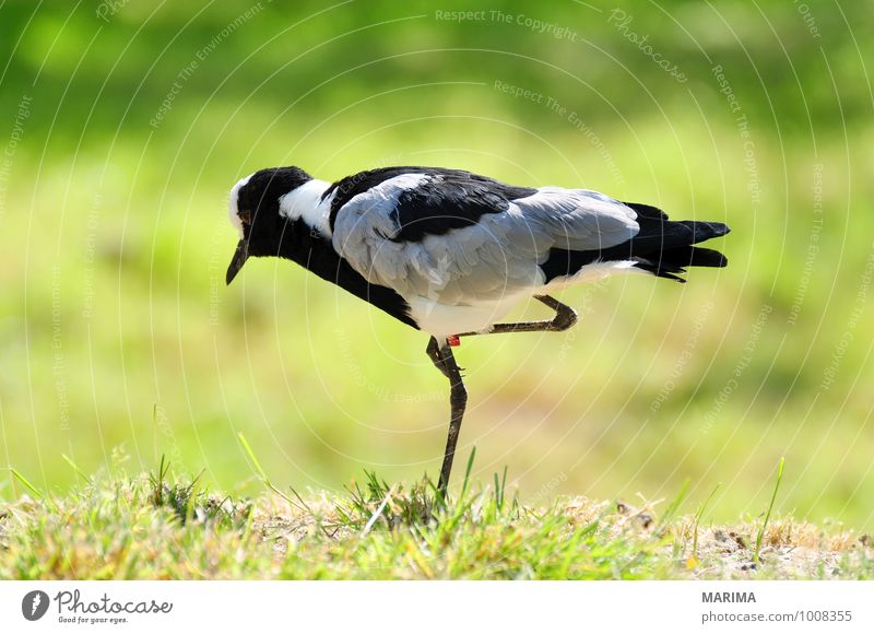 Portrait of a Blacksmith lapwing Nature Animal Grass Meadow Bird Stand Gray Green outside Grand piano Feet foot Feather plumage pewit vanellus portrait Beak