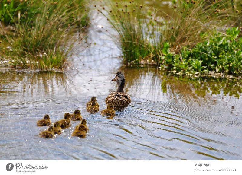 mallard ducks, mother with her chicks Nature Animal Water Grass Meadow Pond Lake Bird Baby animal Many Brown Green outside Duck birds Mooring post Grand piano