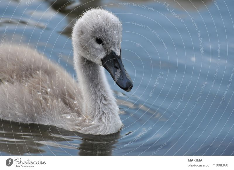 Portrait of a baby swan Nature Animal Water Pond Lake Bird Swan Baby animal Gray outside Grand piano wing Feather plumage Mute swan young swan cygnet fart