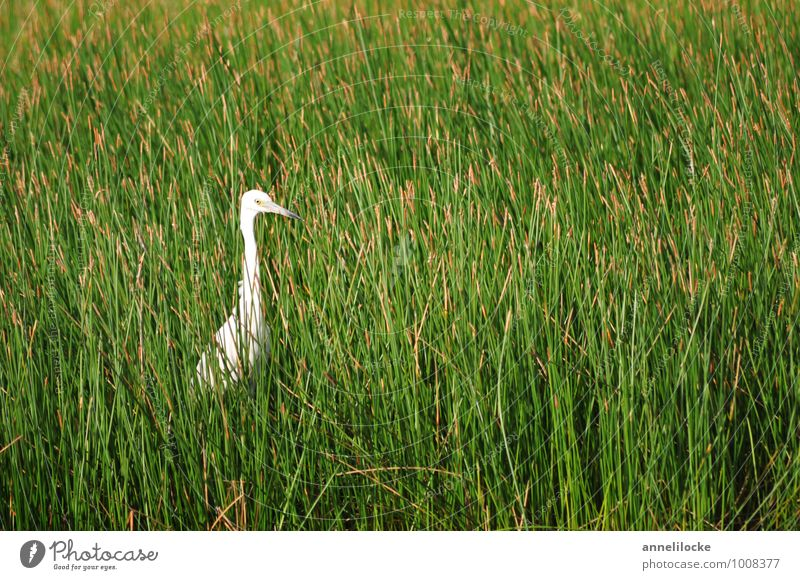 wait-and-see position Summer Nature Spring Plant Grass Common Reed Meadow Bog Marsh Marsh plant Lagoon Animal Wild animal Bird Little Egret Heron Observe Stand