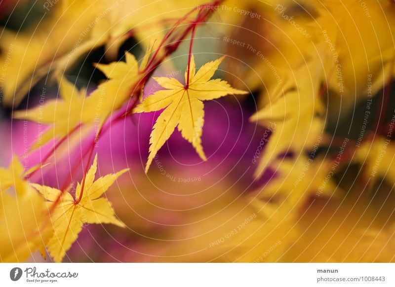 warm colours Autumn Tree Leaf Maple tree Maple leaf Maple branch Twig Autumnal Autumnal colours Natural Yellow Gold Pink Colour photo Subdued colour