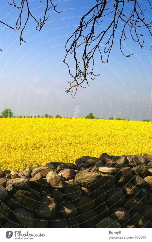 Meck-Pomm in spring Canola Stone wall Mecklenburg-Western Pomerania Yellow high churches Sky Branch