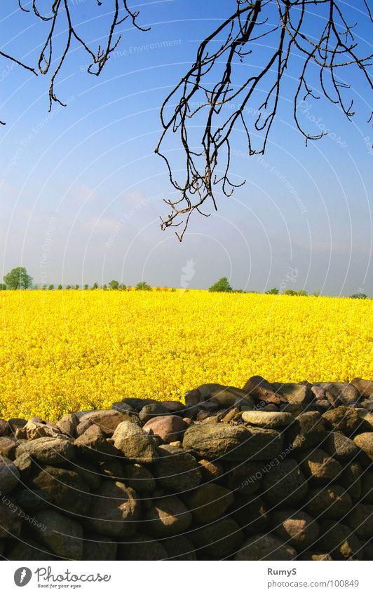 Sky Yellow Stone Branch Canola Mecklenburg-Western Pomerania Stone wall