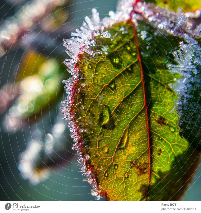 To melt away Nature Plant Drops of water Winter Ice Frost Rose Leaf Rachis Crystal Green Red White Purity Cold Transparent Frozen Colour photo Exterior shot