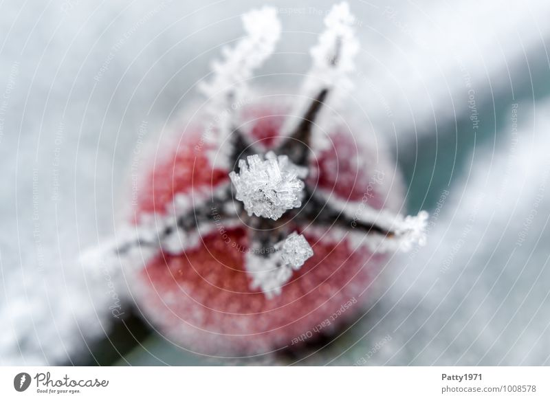 Tomato on ice Food Vegetable Winter Ice Frost Agricultural crop Cold Red White Colour photo Exterior shot Deserted Morning